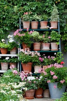 Geranium pots on ladder...love them and all you have to do is pinch the dead ones and they grow back really fast.