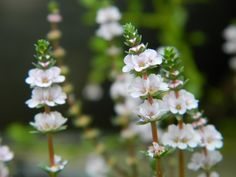Rotala sp.: Lythraceae