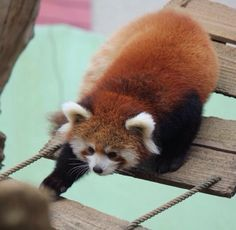 """Red panda 