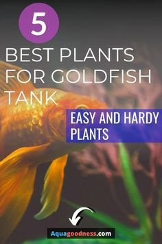 Wondering, Do Goldfish Like Plants in the Tank? Well, in this article, I'm going to answer the same question. I'll also tell you the best aquarium plants for goldfish. You can keep these plants in your goldfish tank or aquarium no matter which type of goldfish you have whether that is oranda, fancy, ranchu, black moore, shubunkin, or comet. #aquarium #freshwateraquarium #fishtank #plantedtank #aquascaping #golddfish#goldfishtank#goldfishaquarium Freshwater Aquarium Plants, Live Aquarium Plants, Tropical Aquarium, Planted Aquarium, Goldfish Care, Goldfish Food, Goldfish Types, Hardy Plants, Aquascaping