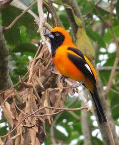 João-Pinto (Icterus croconotus) em inglês Orange-backed Troupial , foto de Valcir Muzi. O joão-pinto é uma ave passeriforme da família Icteridae. Também conhecido como corrupião, e em alguns lugares também chamada de sofrê. Nome Científico: Seu nome científico significa: do (grego) ikterus = amarelo; e krokos = açafrão, amarelo; e nötos, noton = costas, traseira ⇒ pássaro com a parte de trás amarela. Características: Possui cor laranja-vivo estendida superiormente das costas até o alto da…