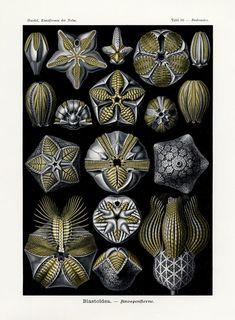 les formes d'art de la nature (Art Forms in Nature) – Ernst Haeckel Starfish Art, Seashell Art, Starfish Tattoos, Art Nouveau, Ernst Haeckel Art, Framed Prints, Art Prints, Canvas Prints, Foto Macro
