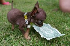 Top 3 worlds smallest puppies.. Click the pic for complete list