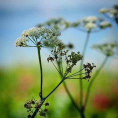 Sommeren går på hæld... #visitfyn #fyn #nature #visitdenmark #naturelovers #mothernature #natur #denmark #danmark #dänemark #landscape #assensnatur #assens #mitassens #vildmedfyn #fynerfin #vielskernaturen #plant #visitassens #instapic #sommer #nofilter