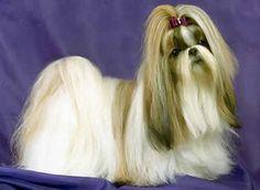 Shih Tzu perros mascota Shih-tzu2 Shih-tzu2