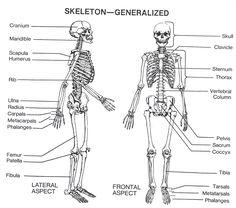 Human Skeleton Print Cut Outs | Unlabeled Human Skeleton ...