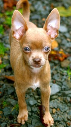 Effective Potty Training Chihuahua Consistency Is Key Ideas. Brilliant Potty Training Chihuahua Consistency Is Key Ideas. Chihuahua Breeds, Chihuahua Puppies, Teacup Chihuahua, Cute Puppies, Dog Breeds, Dogs And Puppies, Chihuahua Terrier, Amor Animal, Mundo Animal