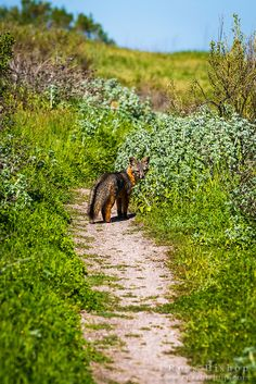 Island fox at Scorpion Ranch, Santa Cruz Island, Channel Islands National Park, Ventura, California Southern California Camping, Baja California, Ventura California, Santa Cruz Camping, Camping Store, Camping Gear, Backpacking, Camping World Locations, Camping France