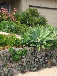 Drought Tolerant Landscape Design Small Front Yard Design Ideas, Pictures, Remodel and Decor Succulent Landscaping, Modern Landscaping, Landscaping Tips, Garden Landscaping, Landscaping Software, Succulents In Containers, Cacti And Succulents, Planting Succulents, Retaining Wall Design