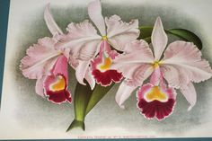c1139c99b90f0 Offered by Asmatcollection on ebay and bonanza.com cheetahdmr@aol.com  Orchid Flower Cattleya Laelia Family