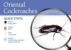 46 best cockroaches images cockroach control bugs hate rh pinterest com