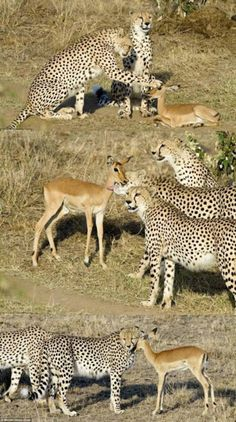 """law of nature says """"kill only when you are hungry"""" For those who excuse their eating habits by saying '… but cheetahs hunt and kill smaller animals'Do you see the difference now?"""