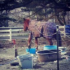 Bye Ms Ada #horse #horses #horseoftheday #horsesofinstagram #instahorse #instagramhorses #instapet #petsofinstagram #petoftheday #instagrampets #equestrian #equestrianlife #horsebackriding #horseriding #hackney #hackneyhorse #horselove #ilovemyhorse