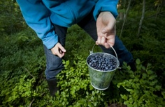 Picking Blue berries. In Finland.