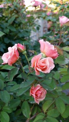 Love Rose, Pink Roses, Beautiful Things, Plants, Pink, Flowers, Places, Flora, Plant