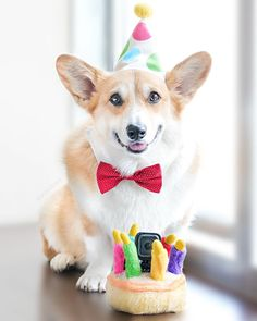 Happy Birthday Corgi, Happy Birthday Wishes, It's Your Birthday, Corgi Clothes, Candle Picture, Birthday Wishes For Daughter, Corgi Gifts, Corgi Pictures, My Beautiful Daughter