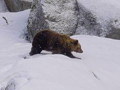 Bear, Ähtäri Zoo in Finland