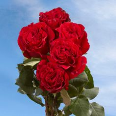 """""""When You Buy Garden Roses Online From Global Rose, You Can Rest Assured That You Will Get Only The Very Best Roses Shipped Free And Guaranteed Absolutely Fresh! 100 Red Roses, Best Roses, Wholesale Roses, Beautiful Red Roses, Flower Food, My Secret Garden, All Flowers, Container Gardening, Mother Nature"""