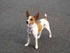 Image result for toy rat terrier