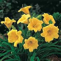 Stella de Oro Daylily  Longest-Blooming Daylily      (1 customer reviews)        Flowers longer than any other daylily you can grow—big, ruffled, 2 1/2-in. golden flowers. Grows 15-24 in. tall. Blooms all summer long. Bareroot. Zones 3-9.  This plant attracts butterflies.     This item will ship in fall 2012.   If our fall shipping season is closed, your order will be shipped the following fall.
