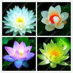 10ピース/バッグ蓮の花蓮の種子水生植物ボウル蓮スイレン種子多年生植物用ホームガーデン