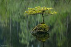 Fairy Lake fir