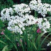 Allium neapolitaniun