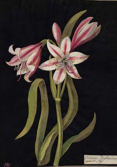Mary Delany, Crinum Zeylanicum (Hexandria Monogynia), Asphodil Lilly. 1778