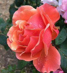 #Mardi Gras #Zone 5 #Roses