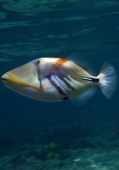 The Humu Picasso Triggerfish, also known as the Humuhumu Triggerfish or Picasso Triggerfish,