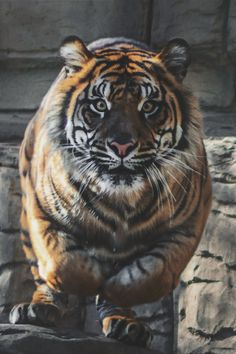 """""""One Very LARGE Tiger! With his eyes focused on you! Siberian Tiger, Bengal Tiger, Bengal Cats, Beautiful Cats, Animals Beautiful, Lynx, Big Cats, Cute Cats, Animals And Pets"""
