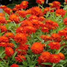 Zahara Double Fire Zinnia Seeds - bedding zinnia, super compact, draw BEES and butterflies, withstand heat/humidity/drought and other punishing conditions