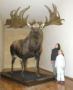 "The ""Irish elk"" is neither exclusively Irish or an Elk. It's a species of deer in the genus Megaloceros and is one of the largest deer that ever lived. It stood 7 feet at the shoulders and weighed over pounds. Large Animals, Animals And Pets, Cute Animals, Irish Elk, Vida Animal, Dinosaur Fossils, Extinct Animals, Prehistoric Creatures, Creature Design"