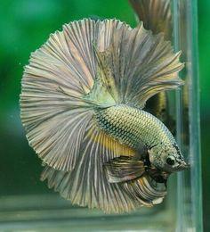 808 Copper gold dragon HM male