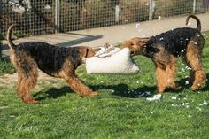 Airedale Tug-of-war