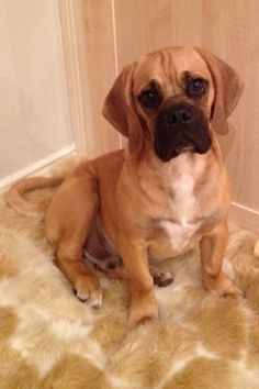 full grown puggle