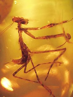 fossilporn:  RARE PRAYING MANTIS IN AMBERMantodea orderOligoceneLa Toca Mines, near Santiago, Dominican Republic