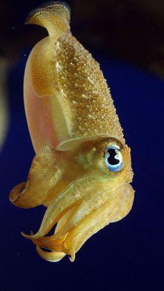 Cuttlefish -- cutest little fella.