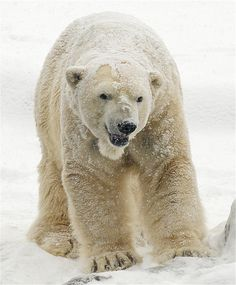 Why is this bear smiling? by ucumari on Flickr.……….because shell just announced they aren't going to drill for oil in the arctic in 2013 :)  happy international polar bear day :)  *PLEASE VISIT ~~>  http://www.savethearctic.org     please help stop the oil companies from drilling in the arctic.