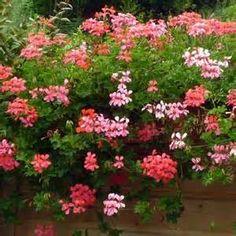 plante geranium lierre - : Yahoo Image Search Results | bureau ...