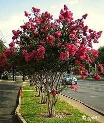 We have one nice specimen in our front yard that I'd like to keep. It was planted in yet another of the large old planter boxes. Once we remove them I'd like to move our Crepe Myrtle tree to a new location in the front yard.
