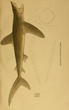 Systematische Beschreibung der Plagiostomen Berlin :Veit,1841. Biodiversitylibrary. Biodivlibrary. BHL. Biodiversity Heritage Library  http://blog.biodiversitylibrary.org/2012/08/book-of-week-shark-week-celebrates-its.html