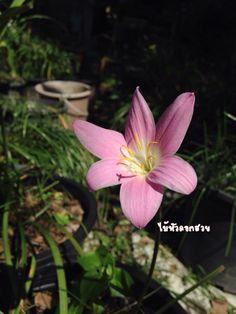#rainlily #rainlilyinThailand #ไม้หัวดอกสวย If you like rainlily follow me at https://m.facebook.com/longsuttirak