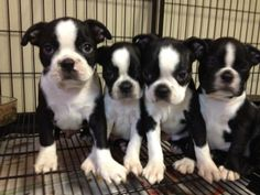 #Boston #Terrier #Puppies
