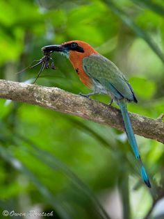 The Broad-billed Motmot (Electron platyrhynchum) is a species of bird in the Momotidae family. It is found in Bolivia, Brazil, Colombia, Costa Rica, Ecuador, Honduras, Nicaragua, Panama, and Peru. by Owen Deutsch Photography. Panama