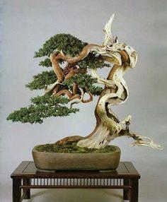 Chinese bonsai: a pine tree …