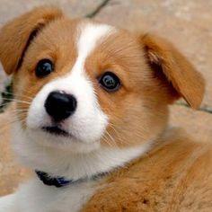 I'm dying. Too cute. Cute Corgi Puppy, Corgi Dog, Cute Puppies, Pet Dogs, Dogs And Puppies, Cutest Puppy, Teacup Puppies, Weiner Dogs, Golden Retrievers