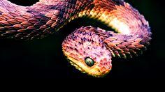 Mesmerizing scales - Bush Viper : pics