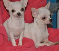 Chihuahua Breeders, Chihuahuas, Chihuahua Love, Little Dogs, Make Me Smile, Puppy Love, Cute Puppies, French Bulldog, Dog Cat