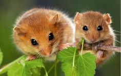Country Life reveals 11 fascinating facts about the hazel dormouse.